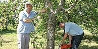 Çiftçiler Kiraz Ağaçlarını Kesiyor