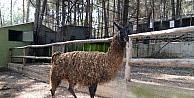 """Hayvanat Bahçesinin Yeni Üyesi """"burcu"""", İlgi Odağı Oldu"""