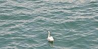 Kanadı Kırık Kuğu, Deniz Polisini Peşinde Koşturdu
