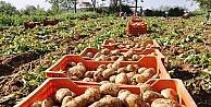 Ödemişin Sarıkız Patatesi Çıktı