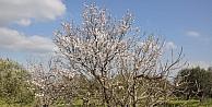 Yalancı Bahara Aldanan Ağaçlar Çiçek Açtı